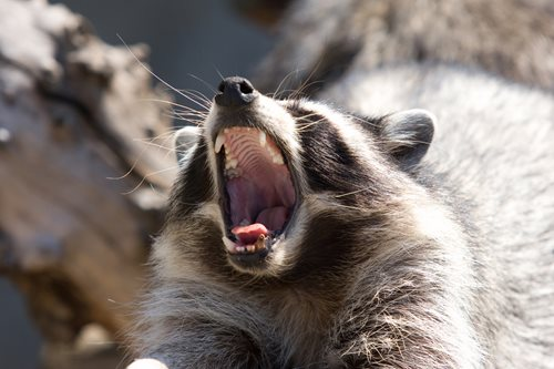 raccoon making vocal noises