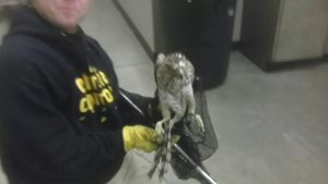 coopers hawk rescued from a warehouse