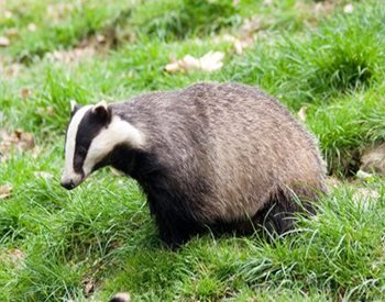 badger in a yard