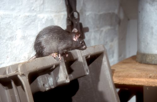Tips For How To Identify Rats What Does A Rat Look Like