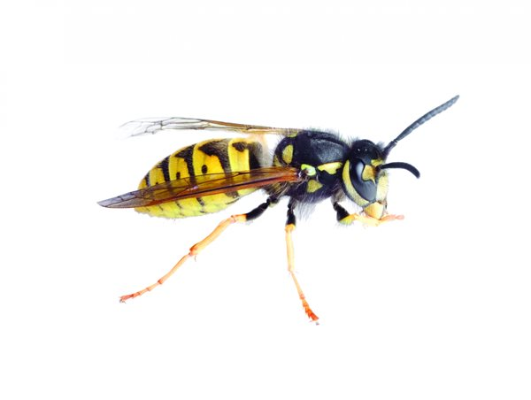 What Does A Queen Yellow Jacket Look Like