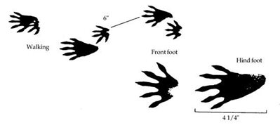 A diagram of raccoon footprints and tracks.