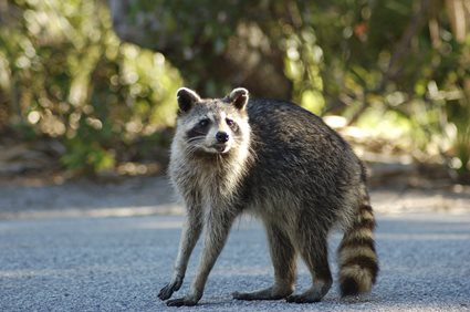 raccoon in the road
