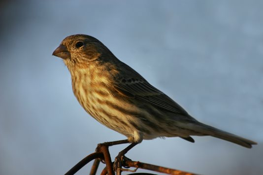 Image of a Sparrow