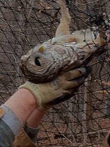 owl rescued from soccer net