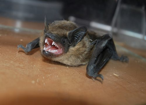 what does a bat look like facts about bats identification