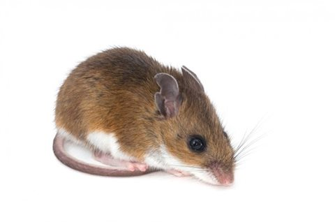 image of deer mouse