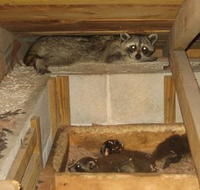 raccoons nesting in attic